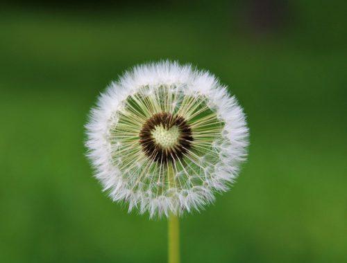 dandelion, heart, desire